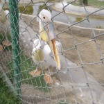 Diesem vorlauten Pelikan wurde vom Krokodil der Schnabel abgebissen, der Pelikan heisst Johanna und verrichtete ihre Notdurft immer im Gaestepool, seither ist sie eingesperrt. This Pelikan called Johanna lost the beak due to a crocodile bit.