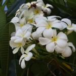 Die Orchidee gehoert zu Hawaii wie das Bier zu Bayern.